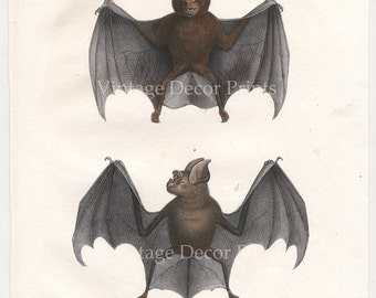 Original 1827 Engraving of Bats by Joseph Brodtmann for H.R.Schinz Hand Coloured Lithograph, Decorative Natural History Antique Print