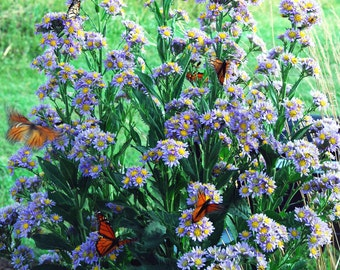 Aster Tataricus, Butterfly Plant, Live Perennial Plant, Tatarian Aster in Four Inch Pot Monarch Butterfly Favorite