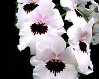 Miltoniopsis Lillian Nakamoto pansy orchid large seedling