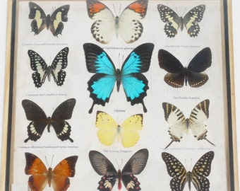 Real 12 Mix Butterfly for sale in wood frame Taxidermy / B01R