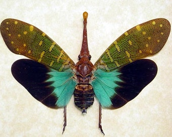 ONE Blue Pyrops Intricata Fulgorid Lantern Fly Unmounted Insect Artwork Wholesale