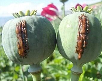 1,000 Opium Poppy Seeds, High Germination Rate, Papaver Somniferum