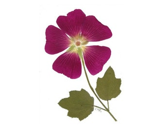 Hollyhock - set of 6 Pressed Flower Cards