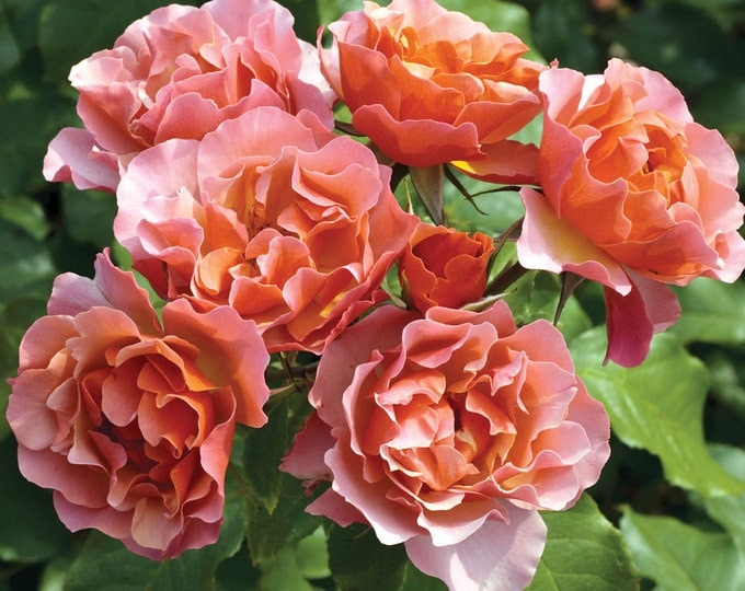 Tequila Supreme ™ Rose Vibrant Orange Flowers With Scalloped Edges! Grown Organic Heat Resistant Rose Plant Potted - Own Root