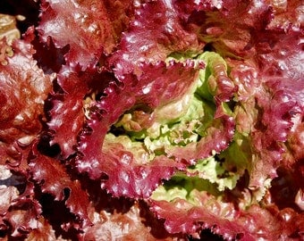 Organic Flame Lettuce 100+ seeds, OP Heirloom