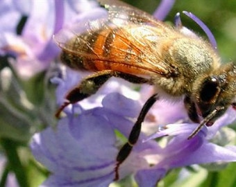 phacelia tanacetifolia seeds, 265, fakeloti,lacy phacelia seeds, blue tansy seeds, purple tansy seeds, honey bees herb, phacelia seeds