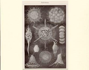 1895 Antique Sea Life Print Custom Matted Radiolarians Antique Sea Life Print Marine Life Ocean Lithograph
