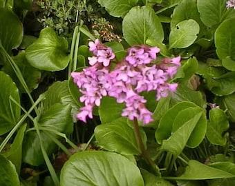 Bergenia Seeds - CORDIFOLIA - Perennial Evergreen Creeper - Reddish - 20 Seeds