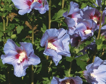 Rose of Sharon Seeds - AZURRI SATIN -Hibiscus Syriacus- Winter Hardy - 25+ Seeds