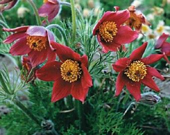 20+ Red Pulsatilla (Pasque) / Flower Seeds