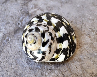 """Polished West Indian Top/Magpie Seashell (2.25-3"""") - Cittarium Pica"""