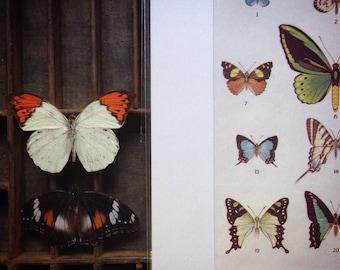 Butterflies mounted colour plate..