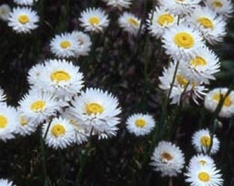 Paper Daisy -White- 50 seeds each pack