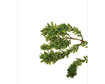 A3 Botanical Study Print — Kauri