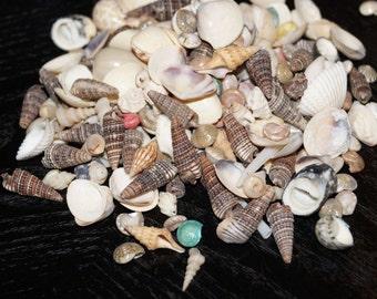 Bulk seashells wholesale seashells mixed seashells wedding for Bag of seashells for crafts