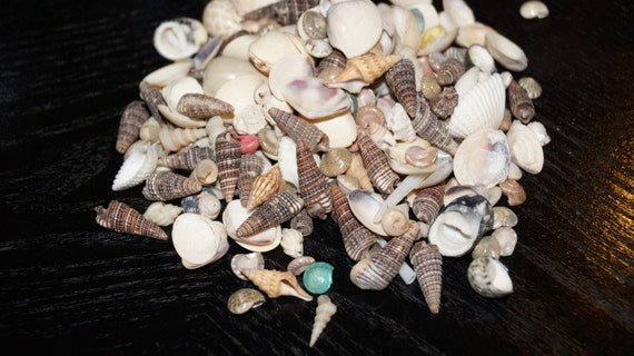 Tiny craft seashells under for bulk bag bulk craft for Bag of seashells for crafts