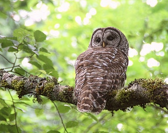 Hoot Owl, Nature Prints, Owl Print, Owl Photograph, Barred Owl, Raptors, Wildlife Photography, Nature Photography, Wild Owl, Bird Photograph