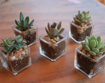 "10 DIY Assorted Succulents in 2"" containers with Beautiful square Glass Votives Complete Wedding Favor Kit succulents party gifts"