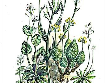 Anne Pratt Antique 1860 Botanical print, Plate 18 Whitlow Grasses, Flowering Plants