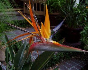 "Strelitzia reginae Bird of Paradise 4"" pot FREE SHIP"
