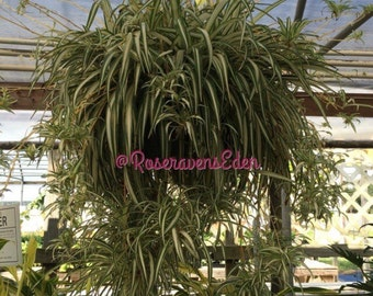 Spider Plant (babies)