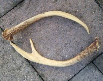 Old Deer Antlers