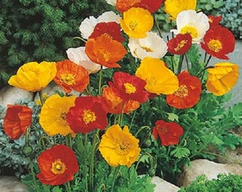 Iceland Poppy Flower Seeds / Papaver Nudicaule/ Annual  100+