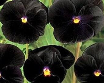Black Clear Crystals Viola Pansy Flower Seeds / Biennial  35+