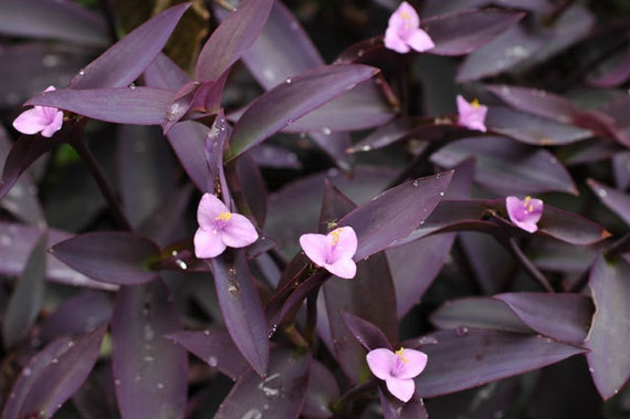 Purple queen heart wandering jew tradescantia pallida - Wandering jew care ...