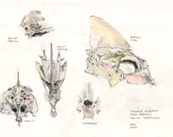 Original Ink Painting - 'Sea Bream Skull Sketches'