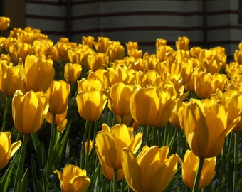 Yellow like tulips in spring