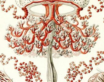 Medusa Jellyfish, Jellyfish Art, Medusa Scientific, Scientific Art, Medusa Art, Jellyfish Medusa, Art Scientific, Art Medusa, Art Jellyfish