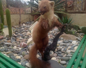 Taxidermy Europe pine Martin collectable