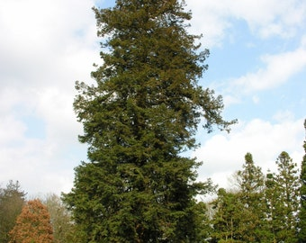 5 à 25 seeds Sequoia sempervirens, the beautiful, redwood redwoods, which can live 3,000 years, under threat