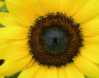 Large Yellow Sunflower Photograph #61