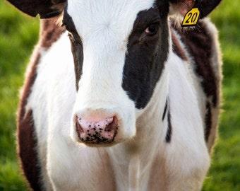 Coy Cow