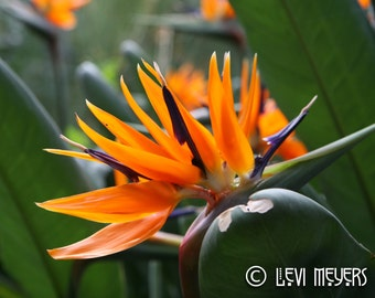 Bird of Paradise - Photograph