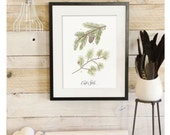 Conifer Study - Pine evergreen Scientific illustration.  Beautifully textured cotton canvas art print. Order as an 8x10 11x14 or 16x20 size.