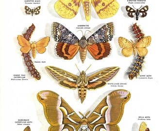 Moth Illustrations, Moth Print- 2 vintage full color 1960's encyclopedia book plates, nature illustration, biology, butterfly print, insects