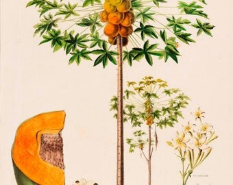 antique french botanical print papaya tree and fruit illustration digital download