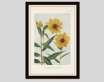 Antique Botanical Print, Shabby Cottage Decor, Wildflower Art, Victorian Lithograph, Original Print, Watercolor, Wild Sunflower, Plate LXXIX