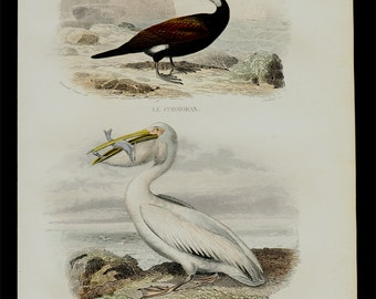1848 Antique print of a PELICAN and CORMORANT, Fine hand colored victorian engraving. +165 Years old