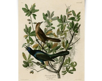 Audubon Bird - Grackle Illustration Poster - Vintage Reproduction - Boat tailed Grackle Zoology austin biology antique science. CP277