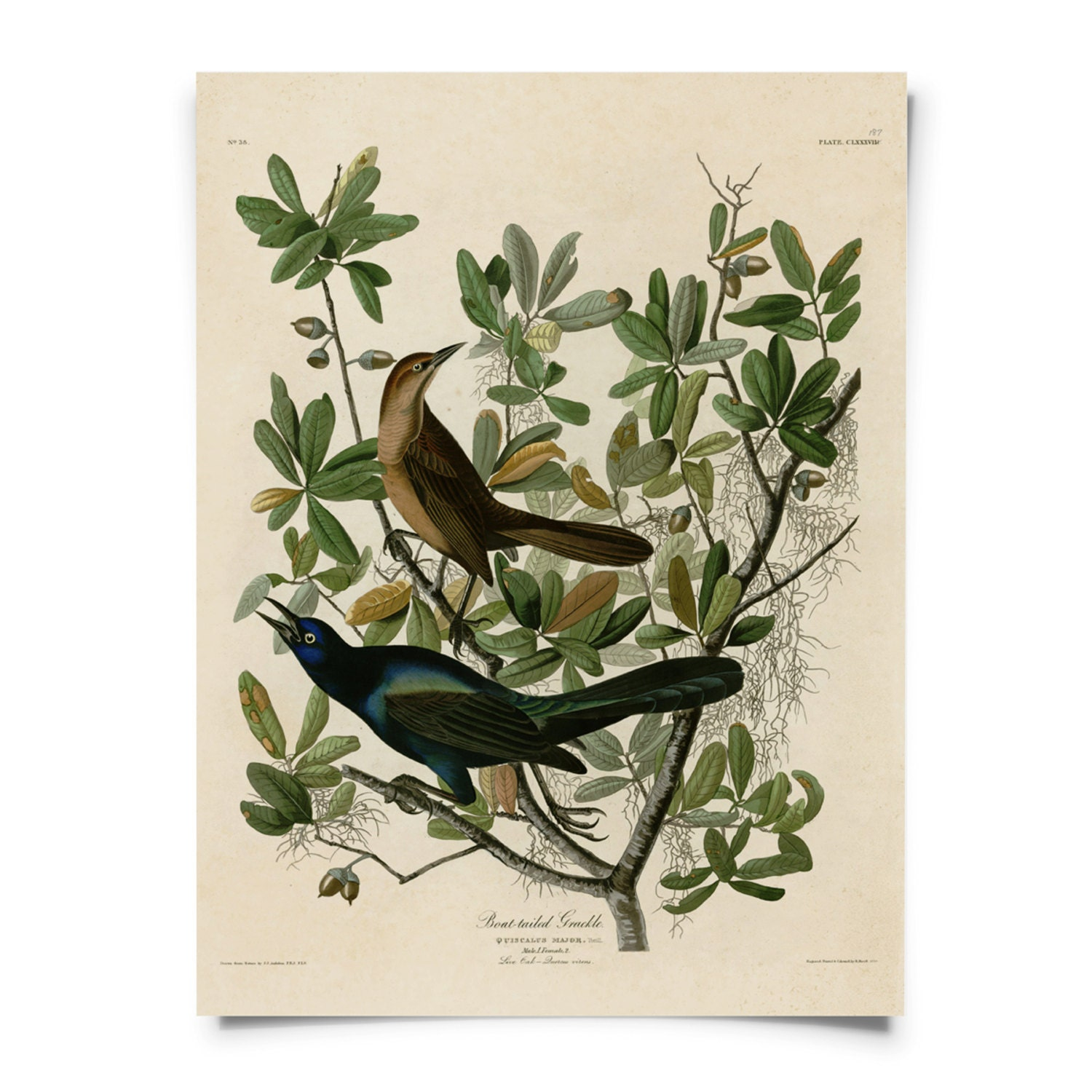 Zoology poster design - Audubon Bird Grackle Illustration Poster Vintage Reproduction Boat Tailed Grackle Zoology Austin Biology