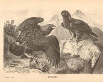 1878 Golden Eagle - Aquila chrysaetos Original Antique Engraving to Frame