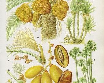 Vintage Botanical Print Antique DATES date palm, plant print botanical print, bookplate art print, fruit plants plant wall