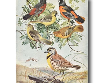 "Bird Print, Bird Illustration (1930s Bird Art, Vintage Bird Wall Art) --- ""Orioles & Meadowlark"" No. 61"