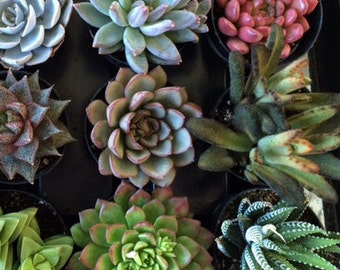 Succulent Plant - You Choose 8