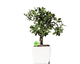 "Jade Plant Crassula Ovata 12 Year Old 24"" Tall Plant in a White Modern Minimalist Planter #380"