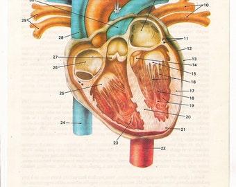 Anatomically correct heart - anatomy poster old page print human body medical drawing anatomic anatomical home decor wall hanging